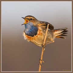 Bluethroat (tonvandeacker) Tags: bird netherlands birds wildlife vogels natuur canon70200f4 bluethroat supershot blauwborst specanimal canon300f4 canon7d canon400f56usm