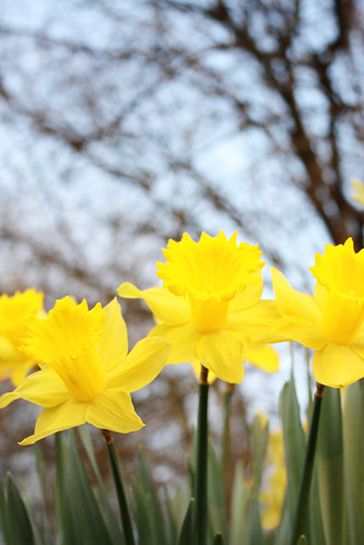 Daffodils closeup by Helen in Wales