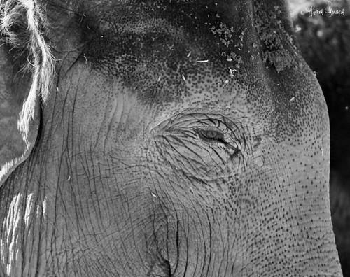 elefante bn by crom84