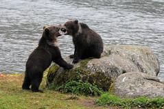 2010 Alaska Grizzly Bear Cub 29 (DrLensCap) Tags: bear baby lake robert animal alaska mammal cub site state ak inside recreation grizzly passage kramer chilkoot lutak mygearandme mygearandmepremium
