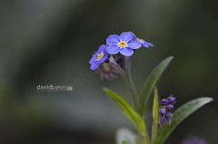 Forget-me-not (Myosotis) (dave-baker) Tags: flowers england david flower macro me up garden lens photography spring nikon flickr close view cheshire micro 28 forget closer widnes halton 105mm myosotis davebaker d7000