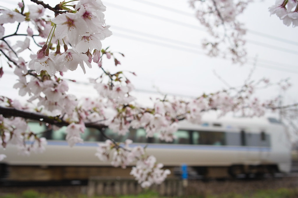 rainy cherry blossoms (with JR limited express)