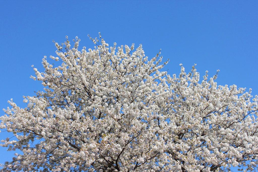 Sakura Photo 2011Bajikouen (1)