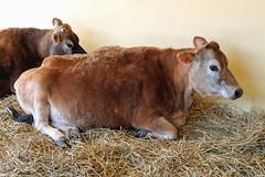Jersey Cow Drusillas zoo park