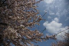 Photo: お花見日和
