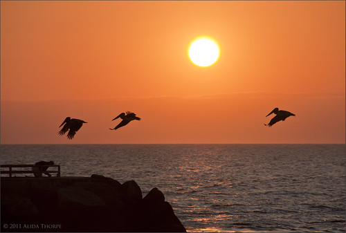 3 pelicans, Jupiter Inlet by Alida's Photos