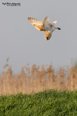Barn Owl, Tyto alba, in flight hunting. (Nigel Blake, 15 MILLION views! Many thanks!) Tags: winter sunset nature barn canon flying afternoon alba dusk wildlife hunting flight january owl late blake nigel owls strigiformes lechuza kerkuil screechowl tyto corujadastorres tytonidae schleiereule tylluanwen tornuggla effraiedesclochers tornipöllö slørugle eos1dsmkiii 600mmf4is gyöngybagoly turnugla tårnugle billywix ginnyollit comhachagbhàn barbagiann scréachógreilige