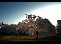 A Shaft of Morning Light (ricepeter) Tags: tree washingtondc morninglight downtown cherryblossoms tidalbasin washingtonmall