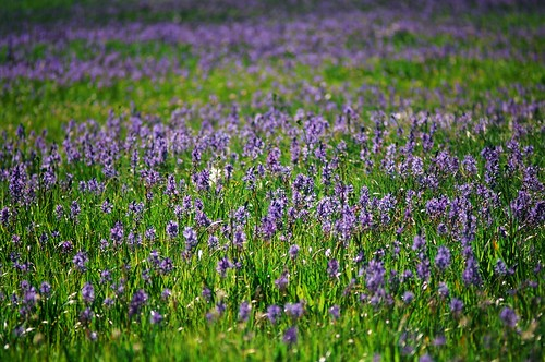 packer-meadows-camas-bloom-june-2010-by-joni-packard-usfs-image