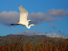 IMG_7180 Great Egret (ThorsHammer94539) Tags: canon bay is san francisco wildlife great national l don usm edwards egret 100400mm greategret refuge naturepeople photosandcalendar natureselegantshots panoramafotografico ringexcellence dblringexcellence tplringexcellence eltringexcellence