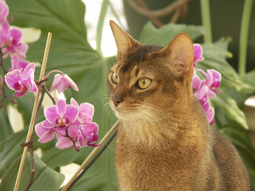 Abyssinian at the age of 2,5 - 2005