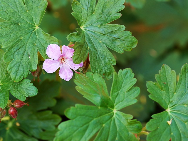 Small purple geranium flower set against green foliage