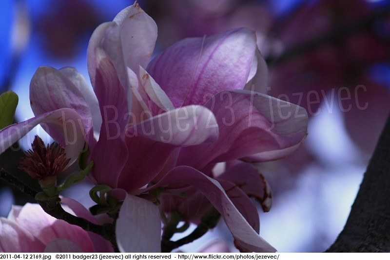 The Worlds Best Photos Of Magnolia And แมกโนเลย Flickr Hive Mind