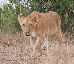 IMG_8956_Lion cub Mara (maqsmughal) Tags: wildlife lioncub wildcats masaimara lionspride maqs canon40d predetors 100400lislens