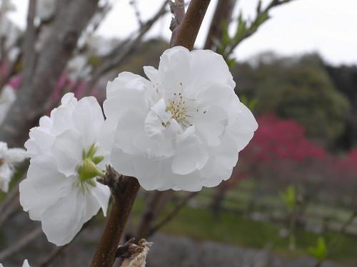 春の花々@明日香村-33