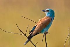 European Roller (Coracias garrulus) (Jeluba) Tags: africa bird nature canon tanzania bokeh wildlife aves serengeti ornithology oiseau afrique europeanroller coraciasgarrulus rollierdeurope blauracke