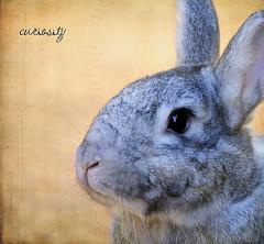 (dana.nikolova (india-eve)) Tags: cute rabbit bunny texture sweet gray fluffy ears whiskers curious canon550d
