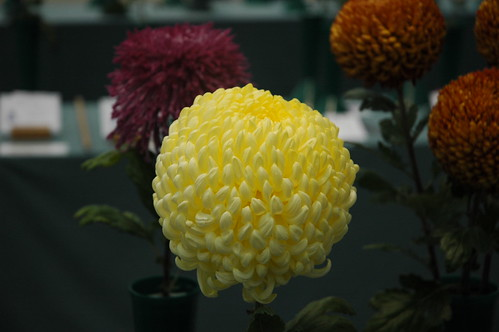 Chrysanthemum 2