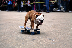 Tillman the Skateboarding Dog (jamie nyc) Tags: nyc newyorkcity manhattan skating timessquare gothamist goodfriday rondavis animaltricks naturalbalance skatedog photobyjimkiernan tillmantheskateboardingdog tillmanthebulldog actuallythebestfriday