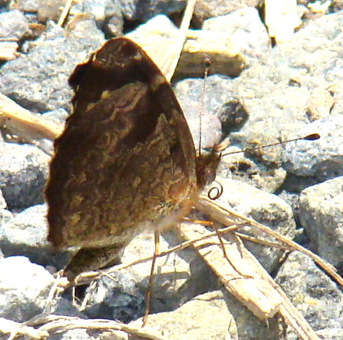 Anthanassa atronia, Brown Crescent(?)