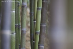 USA-California / Bamboo Forest (Les Yeux Heureux) Tags: california usa plant green beautiful lines vertical america forest canon living amrica raw sanmarino dof unitedstates grove bamboo exotic huntingtonlibrary tropical growing lush amerika   segmented 70200mmf4l huntingtongarden amrique     lesyeuxheureux christophercasilli
