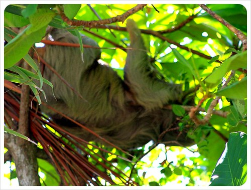 Sloth sleeping in tree in Manuel Antonio