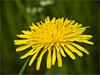 Pitypang (Taraxacum officinale), 1 (mega4000) Tags: flower hungary olympus zuiko virág magyarország taraxacumofficinale pitypang gyermekláncfű nagybörzsöny dslrfotoamatőrésprofifotósokközössége mega4000blogblogspotcom mega4000photographerfacebookpage