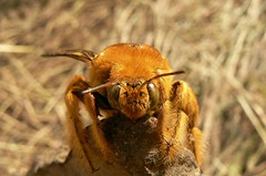 Carpenter bee - Mt. Inago, Mozambique