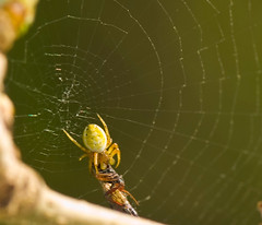 Orb Weaver With Prey In Web With Prey (aeschylus18917) Tags: macro nature japan spider nikon g arachnid micro  saitama nikkor  f28 vr edit pxt arachnida saitamaken chichibu araneae 105mm  105mmf28   105mmf28gvrmicro saitamaprefecture yokoze d700 hitsujiyamakoen nikkor105mmf28gvrmicro  hitsujiyamapark   nikond700  chichibushi danielruyle aeschylus18917 danruyle druyle   chichibugun yokozemachi