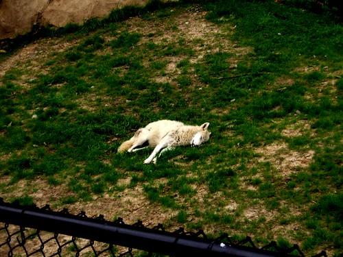 Gray Wolf - Memphis Zoo