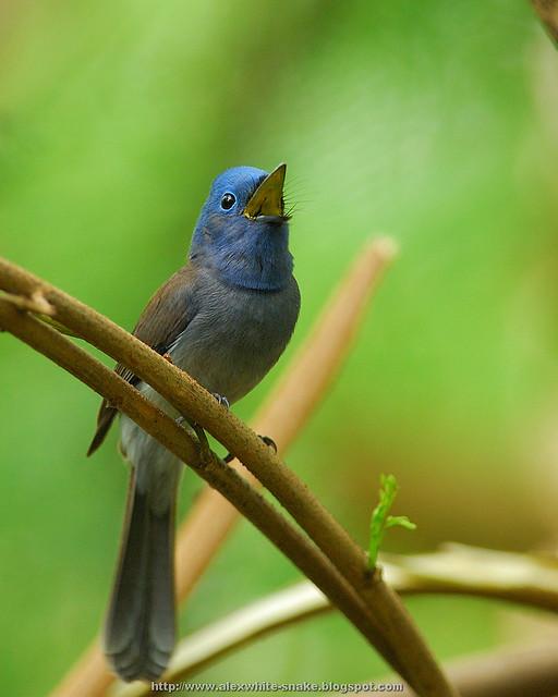 黑枕藍鶲 雌鳥 鳴叫