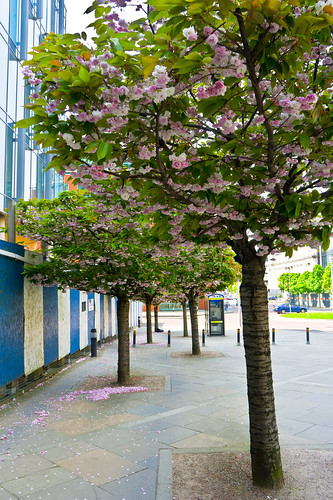 The Streets Of Belfast - Cherry Blossom