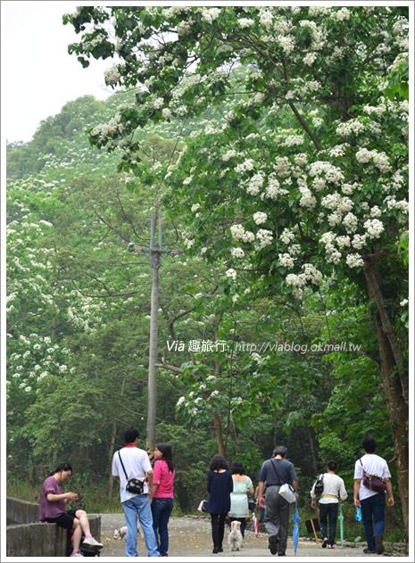 【2011客家桐花祭】桐花最新情報~彰化挑水古道賞桐花1-9
