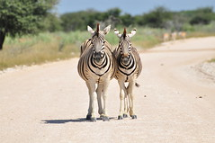 Photogenic zebras