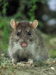 Rat (Lunatique-girl) Tags: france cute love nature animal fauna canon rodent rat natur adorable yeux manuel franais comment mignon sauvage marne faune oreilles museau rongeur quot100 groupquot 100commentgroup flickraward mygearandme