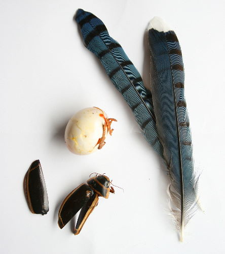 Blue Jay feathers, Giant Water Beetle elytra, Mourning Dove egg