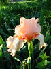 Iris 'Feminine Fire' (christmasnotebook) Tags: iris garden spring ouryard frontyard sooc femininefire christmasnotebookcom may2011 efrontbed