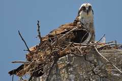 Nesting Osprey (3-Shot Series) -- ***Seen in EXPLORE*** (canikon1998) Tags: ocean park county sea bird beach tampa island bay key gulf state explore osprey egmont nesting hillsborough autofocus explored allnaturesparadise