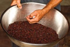 Cocoa plantation tour (DaveMosher) Tags: vacation costarica chocolate jungle tropics centralamerica cocoabeans cocoaplantation