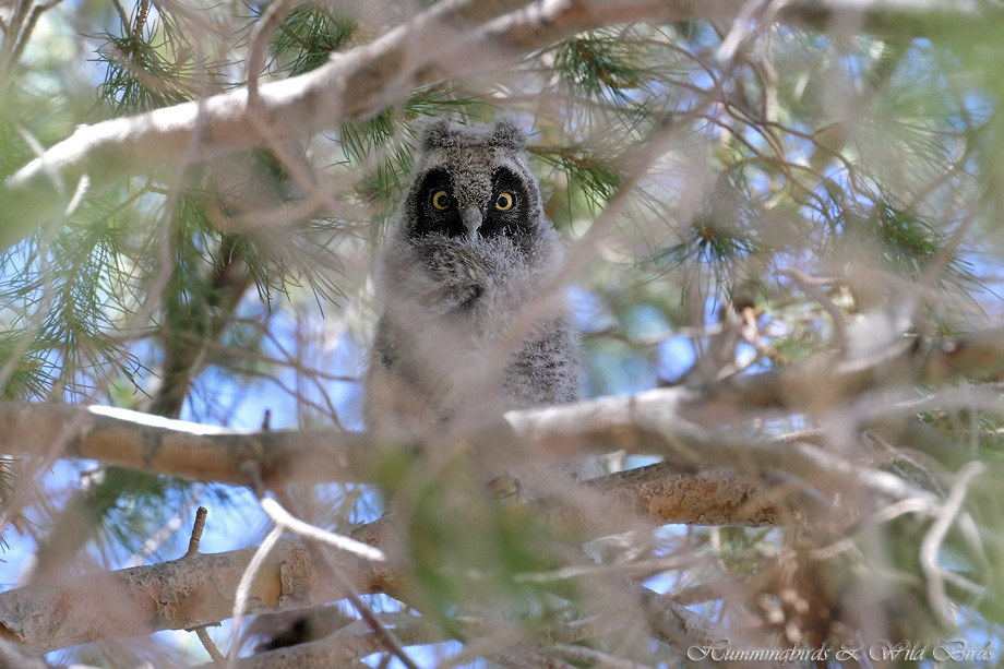 Long-eared-Owl-051101