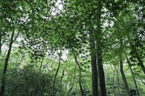 [フリー画像] 自然・風景, 森林, 樹木, カエデ・モミジ, 日本, グリーン, 201105180700