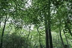[Free Image] Nature / Landscape, Forest, Trees, Maple, Japan, Green, 201105180700