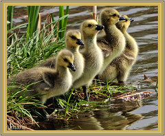 Day 114 of 365 (Jmarie999) Tags: geese goslings frame specanimal specanimalphotooftheday younggeese hennysanimals