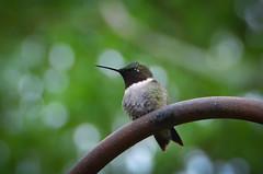The Littlest Visitor (Truebritgal) Tags: bird nature up closeup yard lens flying wings backyard nikon dof hummingbird close bokeh wildlife small flight beak tiny nikkor rubythroated rubythroatedhummingbird d7000 feederfeeding truebritgal