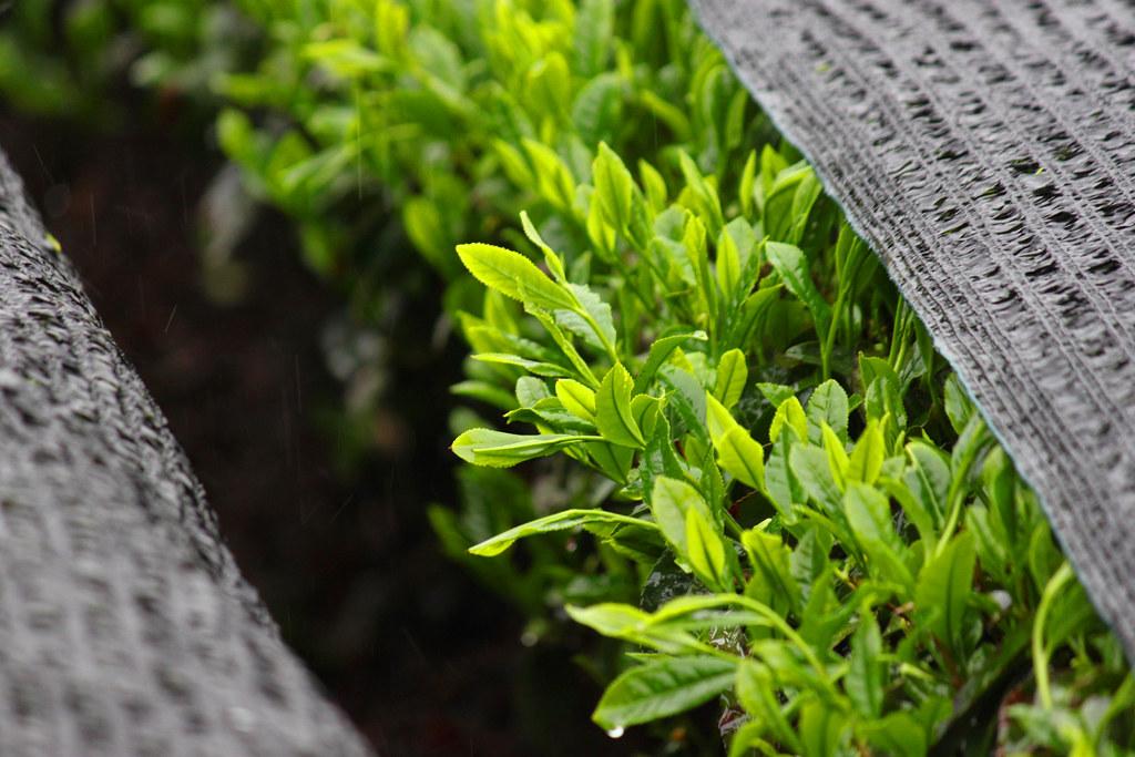 Inokura tea garden (6)