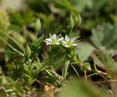Thyme-Leaved Sandwort - Arenaria serpyllifolia - entire (Birds and Bugs) Tags: flower nature geotagged flora british botany wildflower cambridgeshire sandwort arenariaserpyllifolia thymeleavedsandwort kingsdyke canonefs55250mmis kdnr kingsdykenaturereserve geo:lat=5256072796214403 geo:lon=01583183113810793