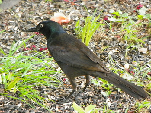 common grackle female. Common Grackle female