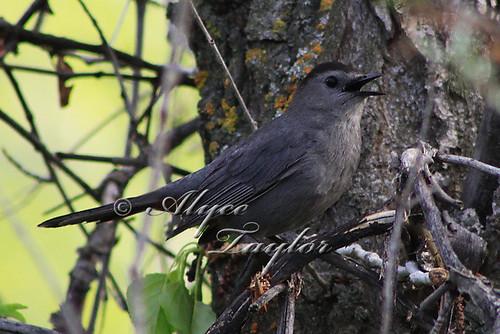 Day 151 - Gray Catbird