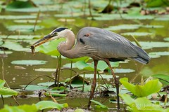 Feasting Heron (John Baggaley) Tags: bird heron nature animals landscape outdoors washington nikon day outdoor wildlife d90 kenilworthparkandaquaticgardens afsvrzoomnikkor70300mmf4556gifed photocontesttnc11
