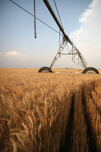 The irrigated wheat had a high yield.